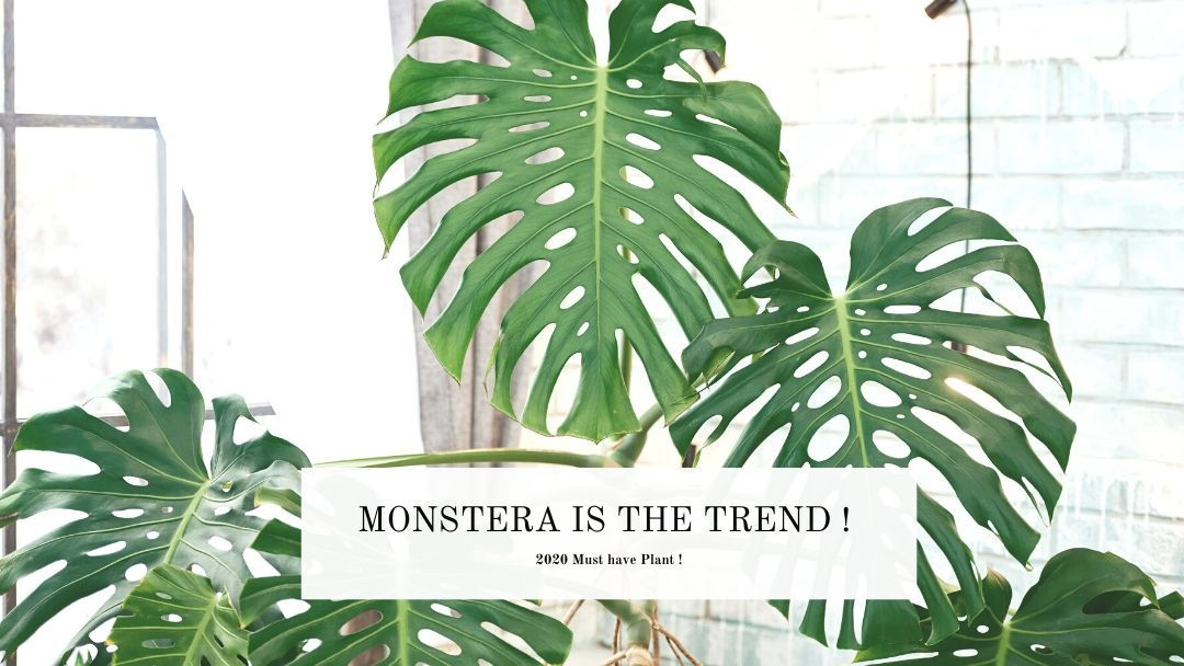 Growing and caring for your monstera
