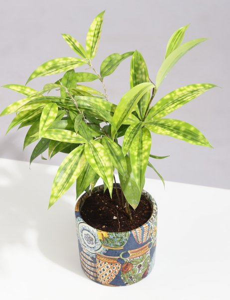 Dracaena - Milkyway In Handcrafted Ceramic Planter