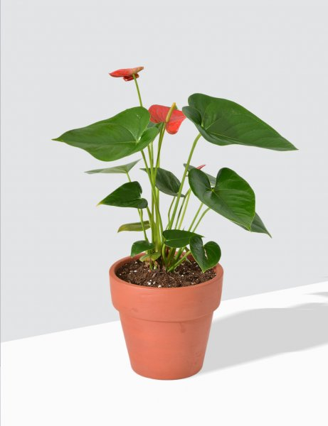 Anthurium Red in Terra Cotta Pot / Medium