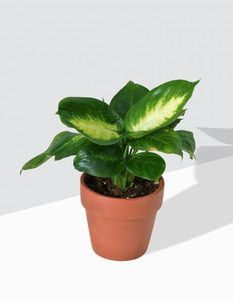 Dieffenbachia 'Honeydew / Dumb Cane / Small