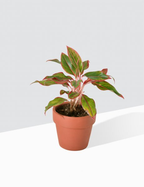 Aglaonema - Red Gold / Small