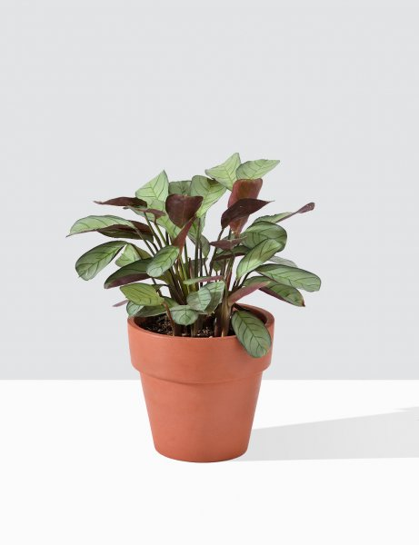 Calathea - Blure Marxi In Terra Cotta Pot / Medium