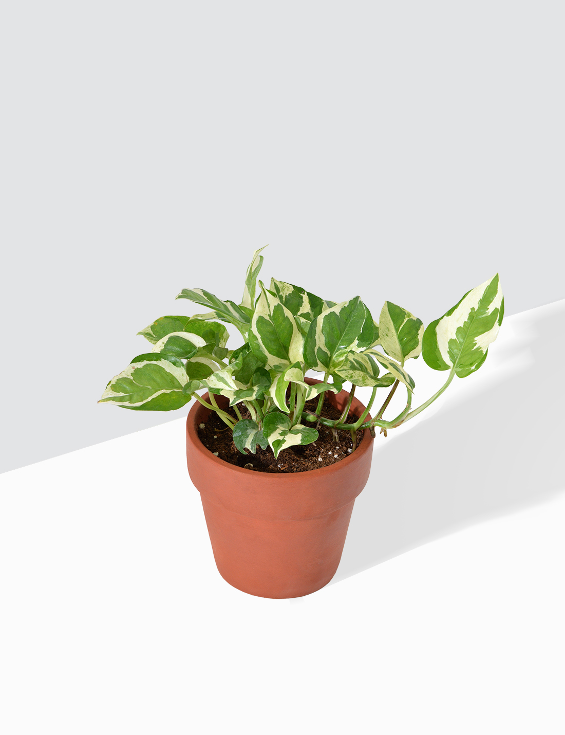 Money Plant Marble Prince In Terra Cotta Pot / Small