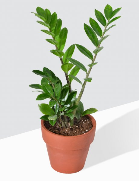 Zamia / ZZ Plant In Terra Cotta Pot / Medium