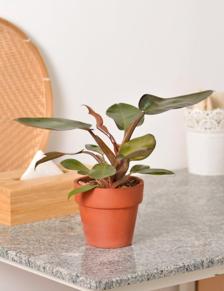 "Philodendron 'Black Cardinal"" / Small"