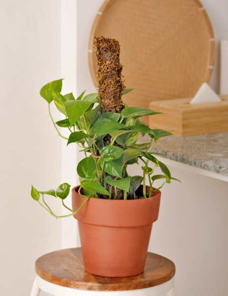 Money plant / Golden Pothos With Moss Stick Support