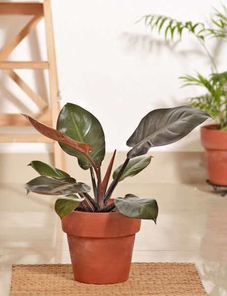 "Philodendron 'Black Cardinal""  / Large"